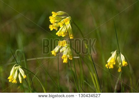Macro photo of Primula officinalis, primrose spring.  Meadow in Ukraine, Sumy region