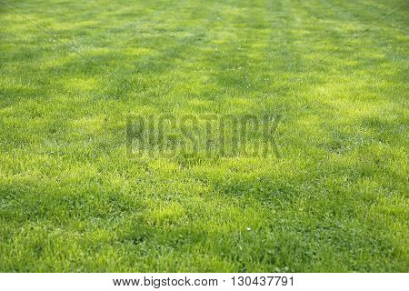 Natural green grass spring shorn lawn background