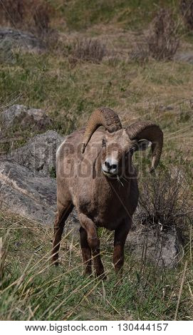 a big horn ram stands staring into the camera