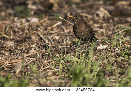 A blackbird is searching for fodder on a field