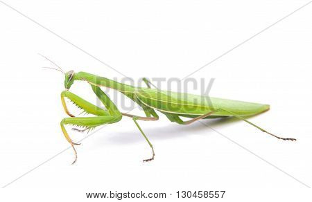 Female European Mantis or Praying Mantis Mantis religiosa in front of white background