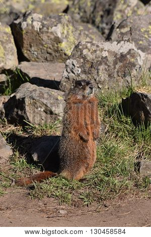 a marmot stands up looking around as a guard