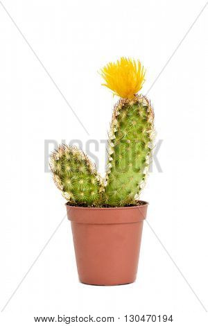 a ladyfinger cactus with a yellow flower in a brown plant pot, on a white background