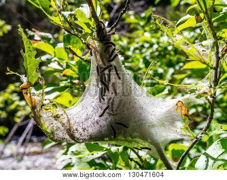 Macro of many caterpillars in and around tent nest