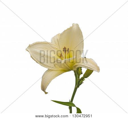 Daylily (hemerocallis) with dew drops on a white background isolated