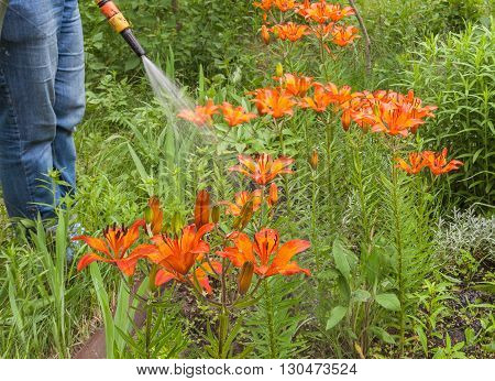 Watering with a hose beds of blooming lilies