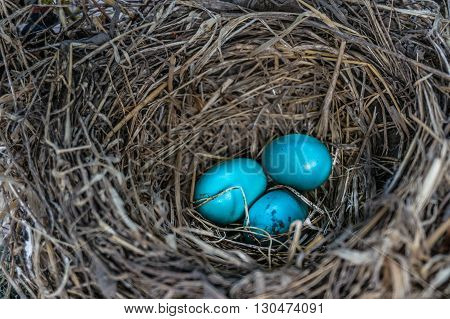 Bird's nest with blue eggs nestled in a grapevine