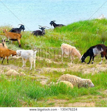 A domestic goats grazing on green pasture