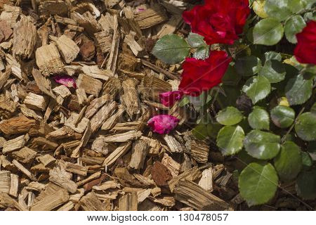 Mulch for roses and plants. Gardening stock foto