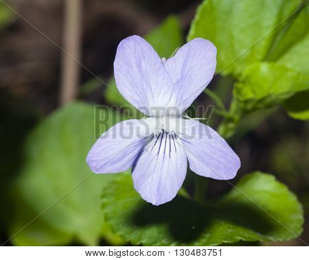 Heath dog-violet Viola canina Flower with defocused background macro selective focus shallow DOF