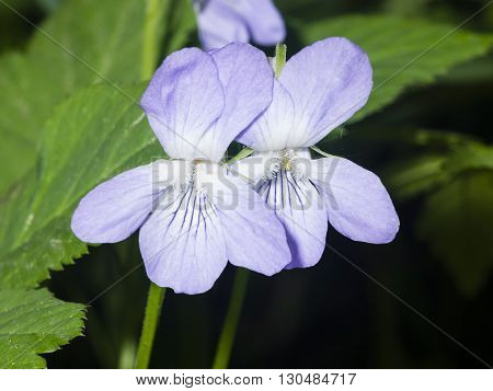 Heath dog-violet Viola canina Flowers with defocused background macro selective focus shallow DOF