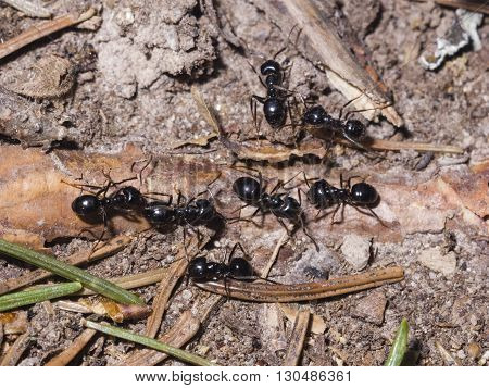 Ants lasius nigra trail on ground in woods close-up selective focus