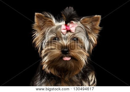 Closeup Portrait of Happy Yorkshire Terrier Puppy Showing tongue and Looking in camera Isolated on Black Background