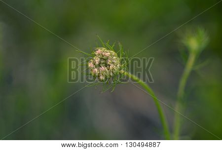 Closeup hoto ofa blooming flower bud
