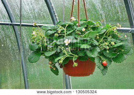 Blooming Remontant Strawberries  In Hanging Basket