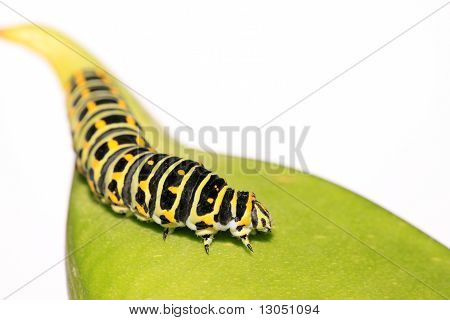 a kind of insects larvae named papilionidae poster