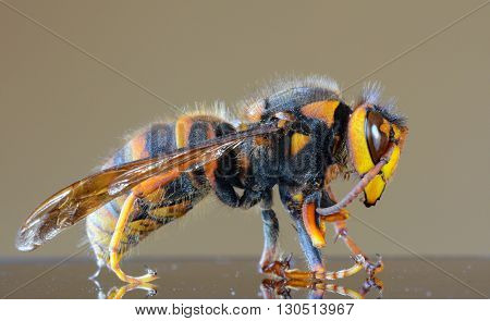 Japanese giant hornet closeup macro, also called giant sparrow bee