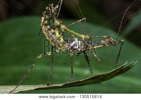 Stick Insects of Borneo , Mating Stick Insects , Stick Insects Mating