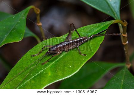 Katydid of Borneo , Close-up of Katydid , a beautiful Katydid