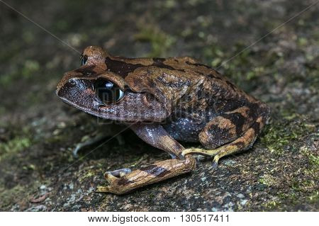 Frog , Close up of a Mountain Litter Frog , Mountain Litter Frog , Borneo , Sabah
