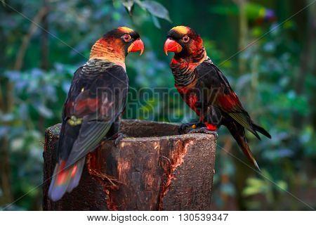 dusky lory (Pseudeos fuscata) sitting together on a platform
