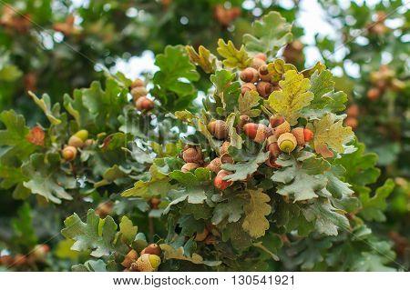 Ripening acorns on tree branch closeup, blurry background