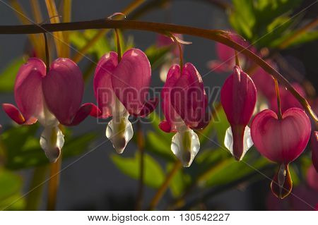 Dicentra - always attracts its original form.