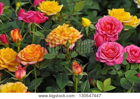 Beautiful orange yellow and pink miniature roses