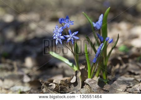 Blue tender spring flowers in a forest