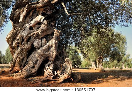 Old olive tree in the garden in Italy