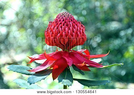 Red flower head of an Australian Waratah in dappled light