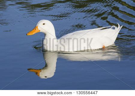 CAGLIARI - Walk in the Park of Monte Claro - Sardinia - duck and its reflection swimming in the pond.