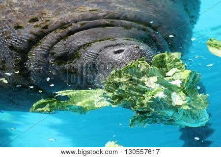 a picture of a very large manatee