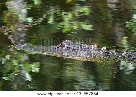 a picture of an american alligator in the water
