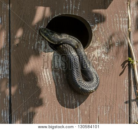A Black Snake, (Coluber constrictor), also known as a Eastern Racer, raids a wood duck box in search of eggs.