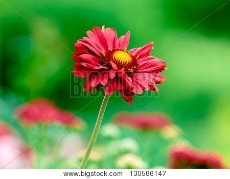 beautiful red Gallardia with green bokeh background