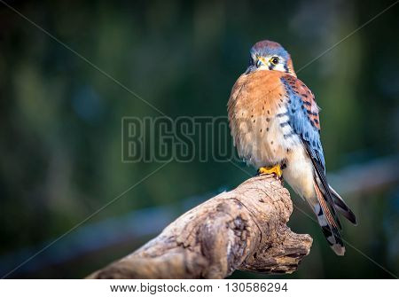American Kestrel on a tree branch with bokeh