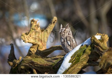 screech owl on a tree with snow