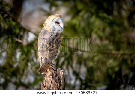barn owl close up on tree with green background