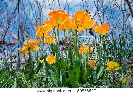yellow and orange tulips with sky in background