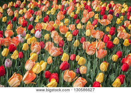 colorful tulip flower bed in spring time