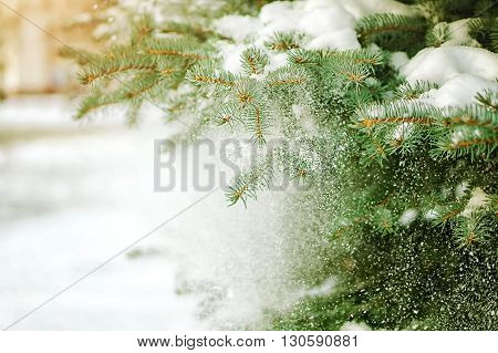 Detail of green pine tree branch covered with snow. Holiday colors.