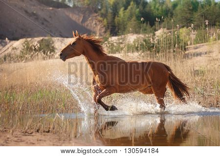 Red Horse On Nature. Portrait Of A Horse