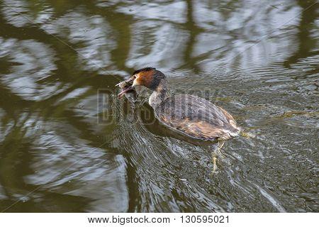 Great Crested Grebe (Podiceps cristatus) swimming with a caught European Perch (Perca fluviatilis) in it's beak