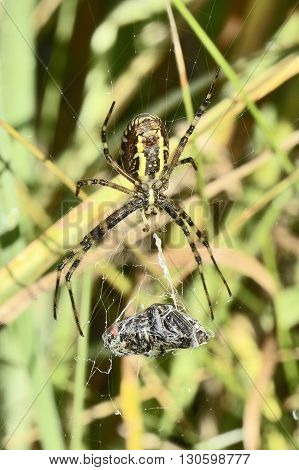 Venomous Predator Spider hangs on spiderweb and keeps its victim in a cocoon poster