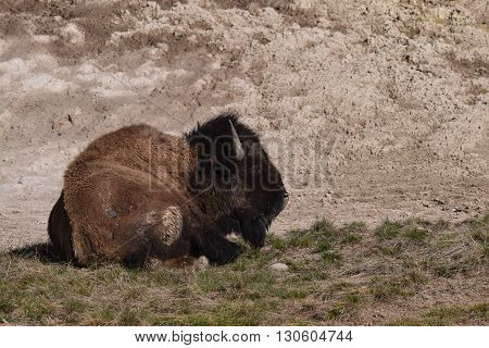 buffalo sits on a hill near the Hayden valley