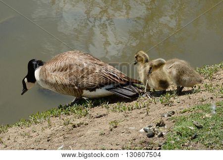Canada Goose and goslings descending steep bank to lake