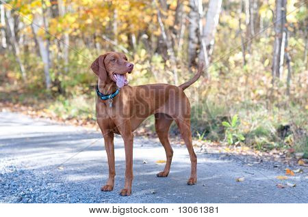 Vizsla Portrait On A Road With Autumn Leaves