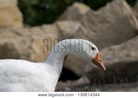 Goose head portrait close up outside with natural background