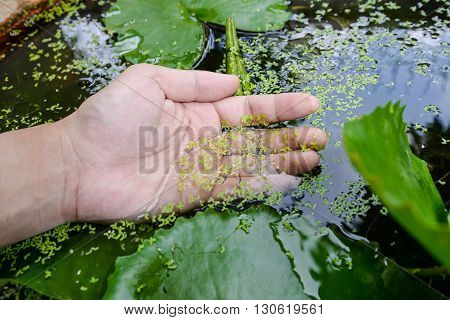 Duckweed stick on the human hand in the pot